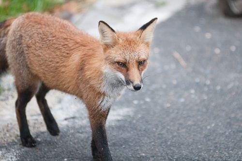 fox wildlife red