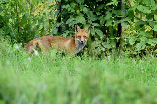 fox cute red fox