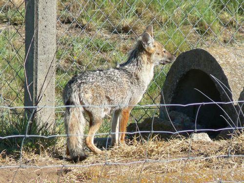 fox animal fauna