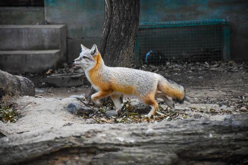 fox animal photography