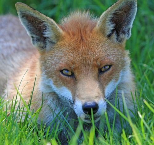 fox red fox red
