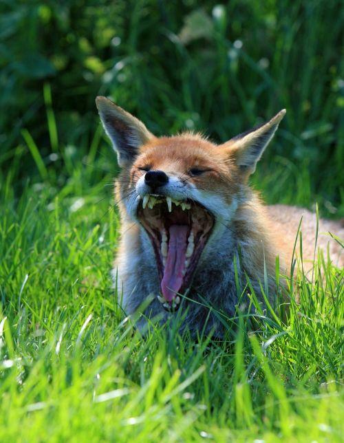 fox animal wild