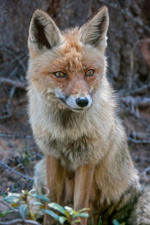fox crafty wild