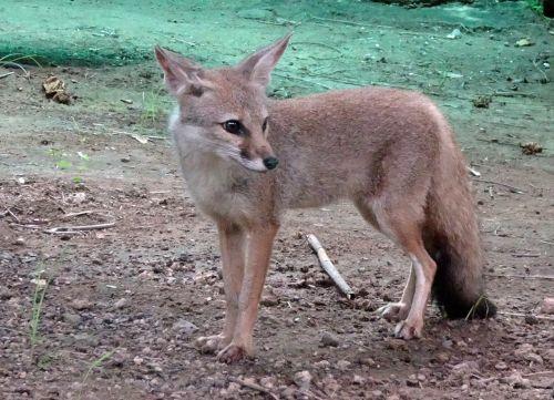 fox bengal fox vulpes bengalensis