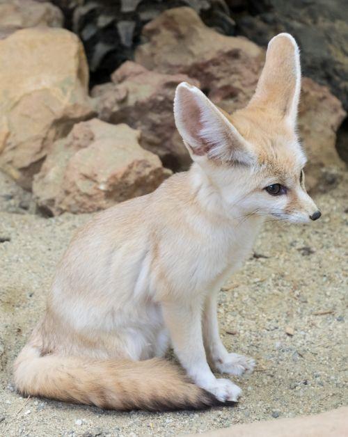 fox sand fox vulpes