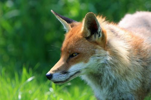 fox red fox animal