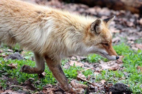 fox  the red fox  vulpes vulpes