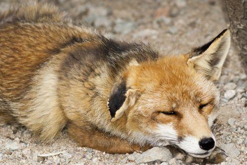 fox mammal animal