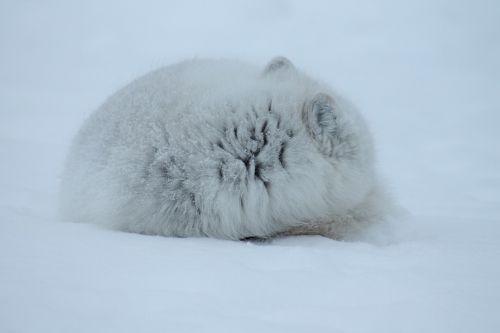 fox arctic mammal