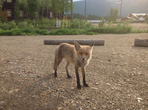 fox yukon summer