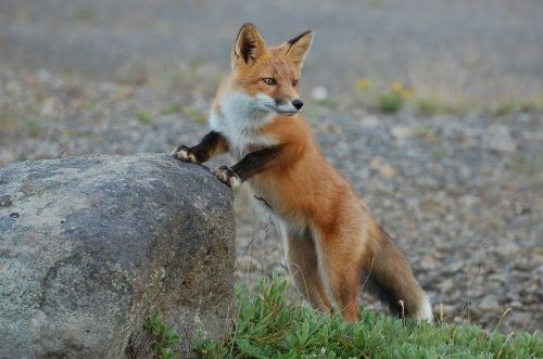 fox wildlife nature