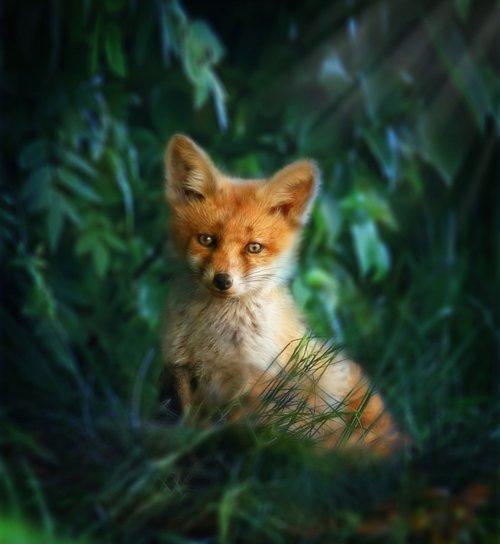 fox red  fox  nature