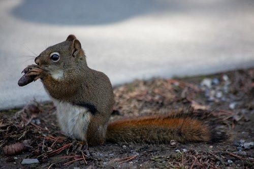 fox squirrel  squirrel  gnaw