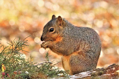 Fox Squirrel And Bokeh