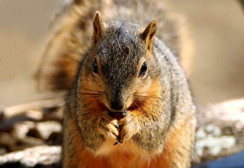 Fox Squirrel Full Frontal