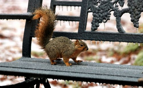 Fox Squirrel On Ice Covered Bench