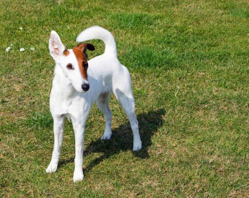 fox terrier smooth fox terrier terrier