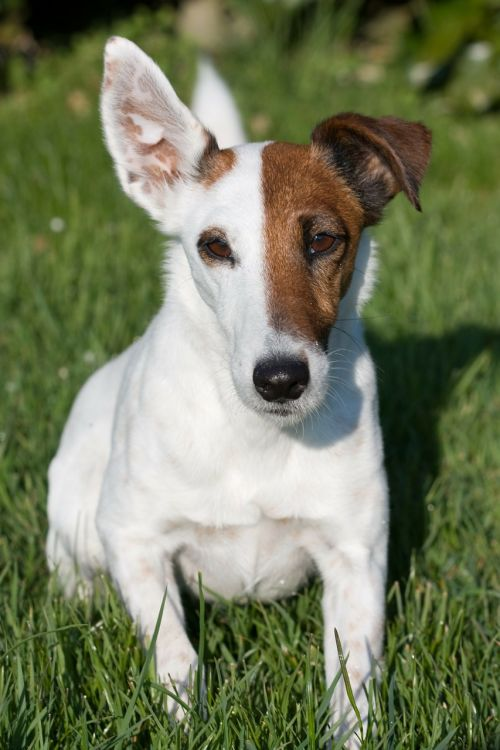 fox terrier smooth fox terrier miniature smooth fox terrier