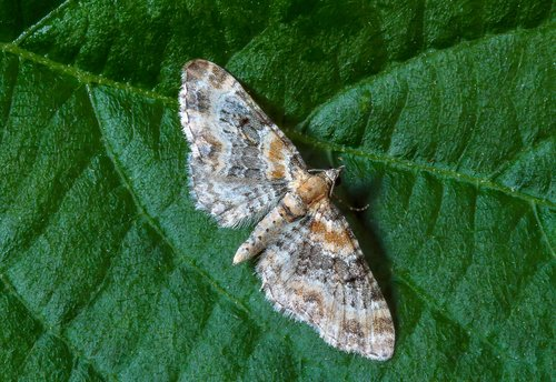 foxglove-pug  moth  tiny