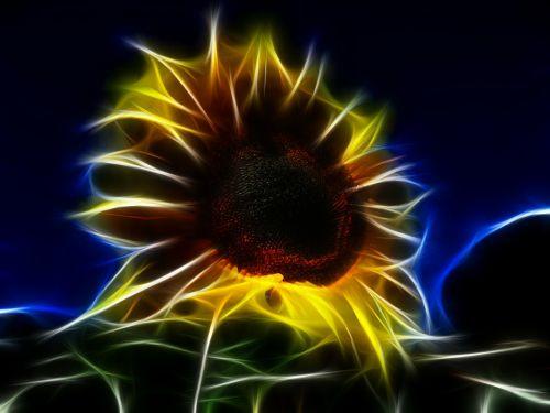 fractal sun flower helianthus annuus