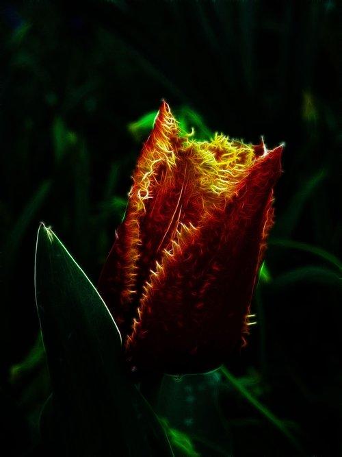 fractalius  tulip  fringed tulip