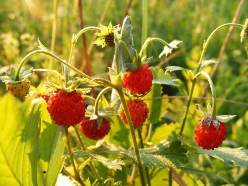 fragaria plant rosaceae