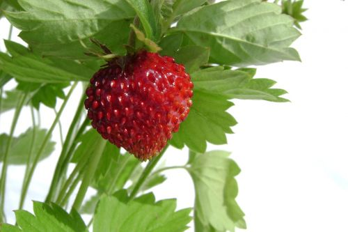 fragaria vesca fruit summer