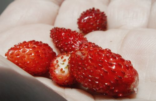 fragaria vesca dessert fruit
