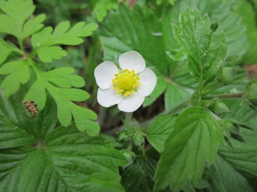 fragaria vesca wild strawberry woodland strawberry