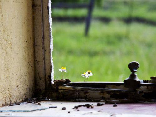 trapi,gėlė,slenkstis,langas,mažas,gamta,trapumas,natūralus,augimas