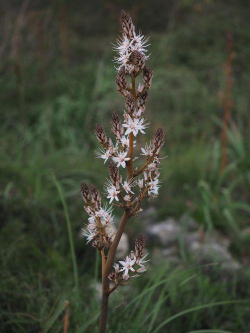 fragrant asphodel flower blossom