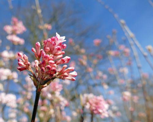 fragrant winter snowball caprifoliaceae flower