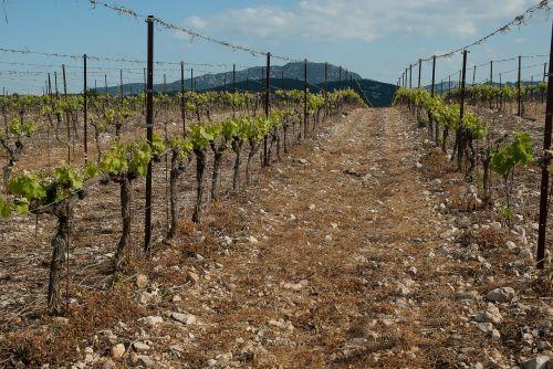 vineyard france herald