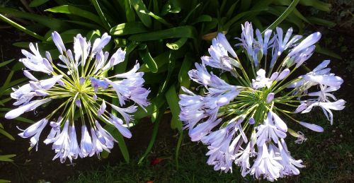 lily of the nile agapanthus france