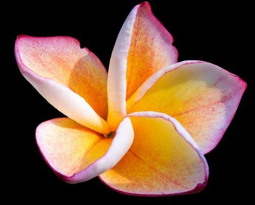 frangipandi blossom bloom