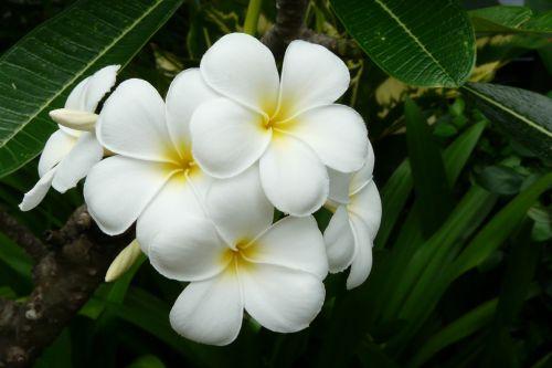 frangipani thailand exotic flower