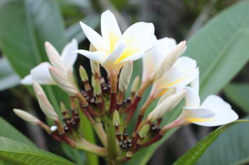 Frangipani,plumeria,gėlė,augalas,balta,geltona,natūralus,augalai,sodas,žiedas,medis,gamta,gėlės,žydėti,atogrąžų,geltona gėlė,balta gėlė