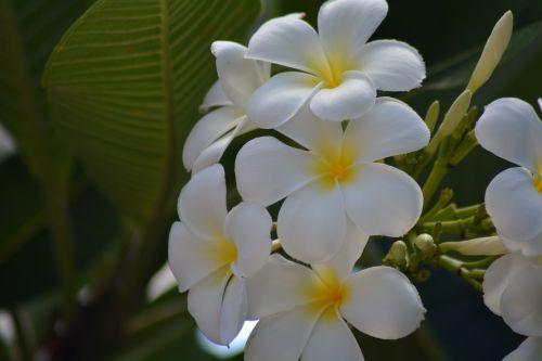 frangipani plumeria white more information