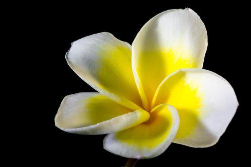 frangipani plumeria flower