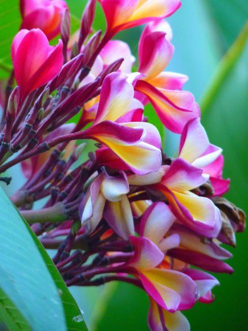 frangipani red frangipani blossom