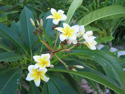 frangipani plant blossom