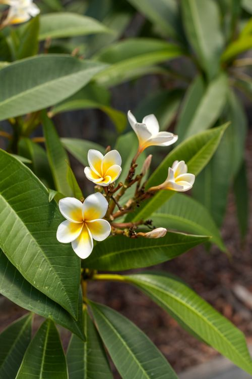 frangipanni flower queens gardens townsville queensland