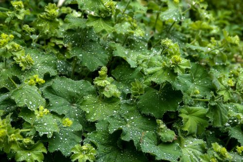 frauenmantel alchemilla plant