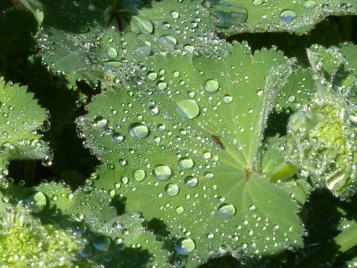 frauenmantel leaf dewdrop