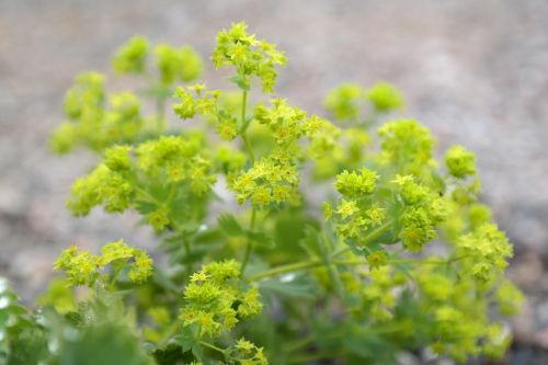 frauenmantel flowers plant
