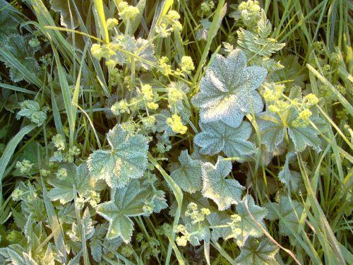 frauenmantel hoarfrost frost