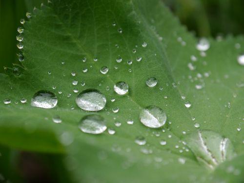 frauenmantel drip drop of water