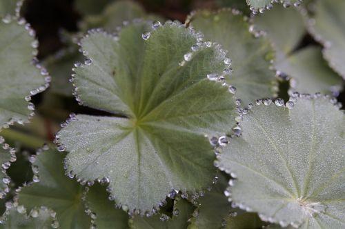 frauenmantel dew dewdrop