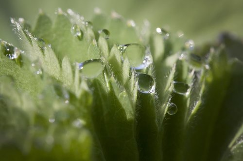 frauenmantel  alchemilla  genus