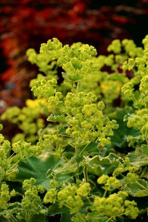 frauenmantel  plant  shrub